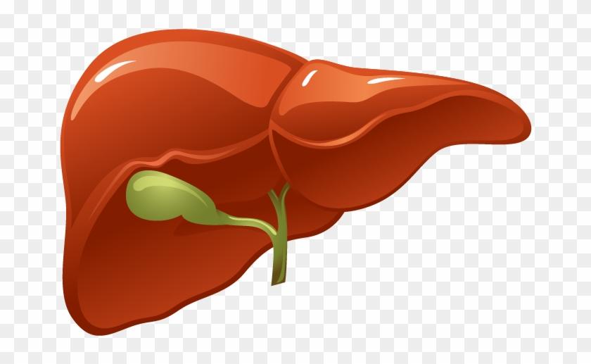 El Hígado Es El Órgano Más Grande De Todas Las Vísceras.