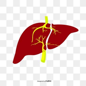 Hígado Imágenes PNG.