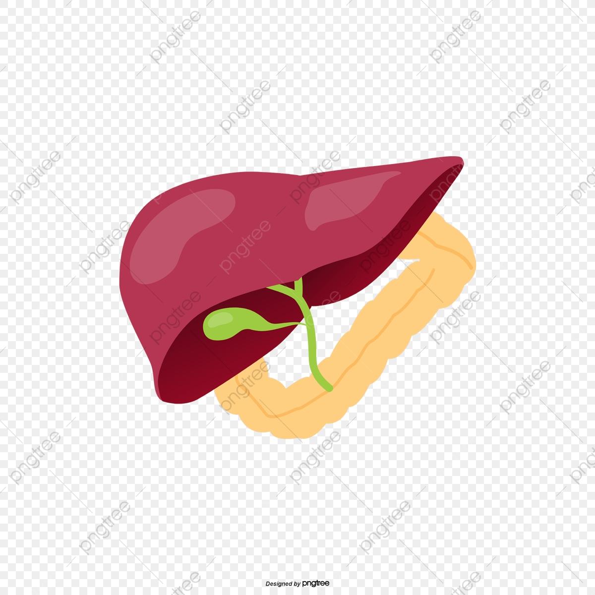 órganos Humanos Hígado Rojo Oscuro, Cuerpo Humano, Organo, Hígado.