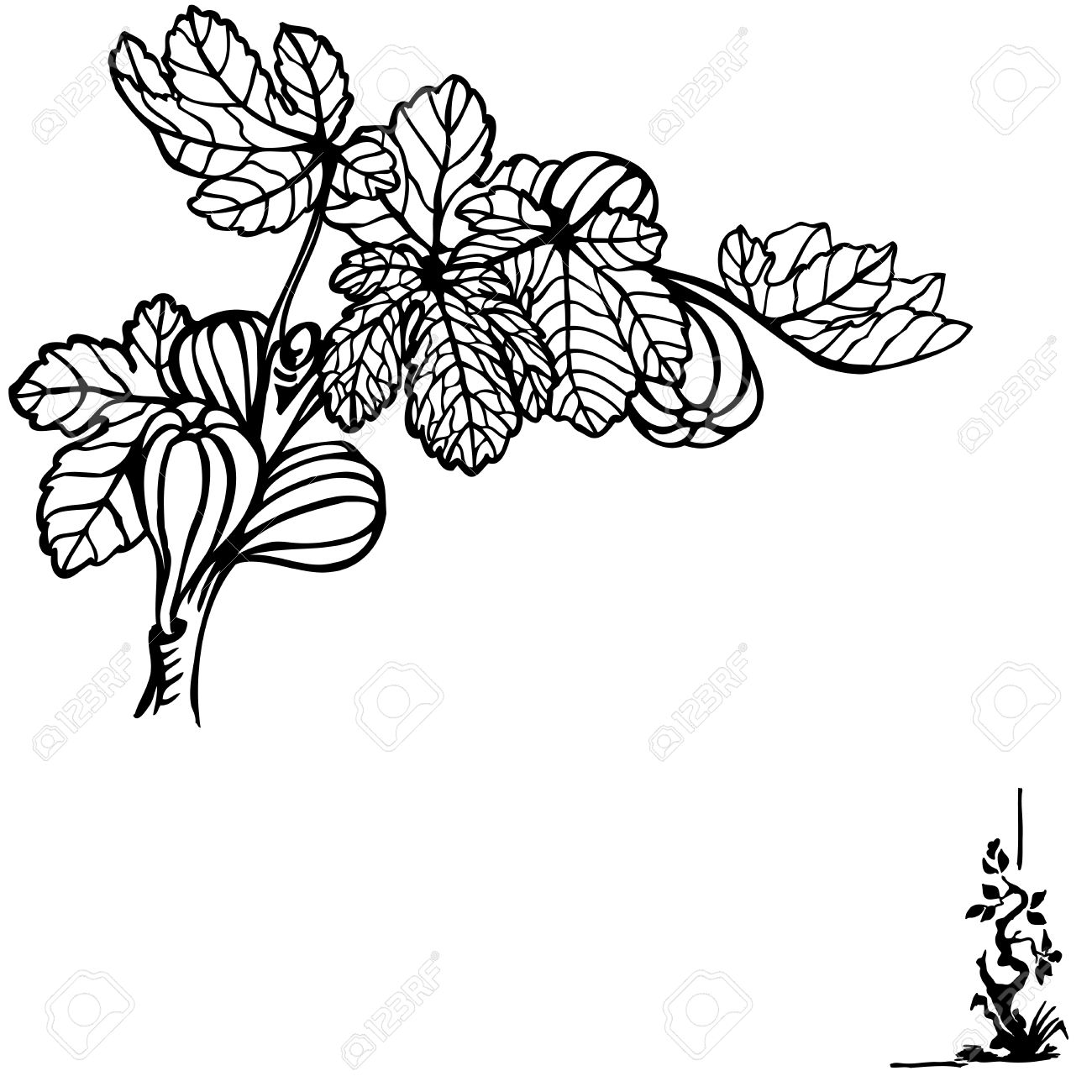 A Branch Of A Fig With Berries And Leaves. Drawing. Vintage.
