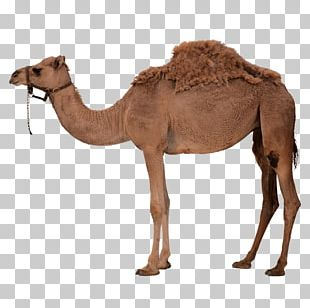 High Arctic Camel PNG Images, High Arctic Camel Clipart Free.