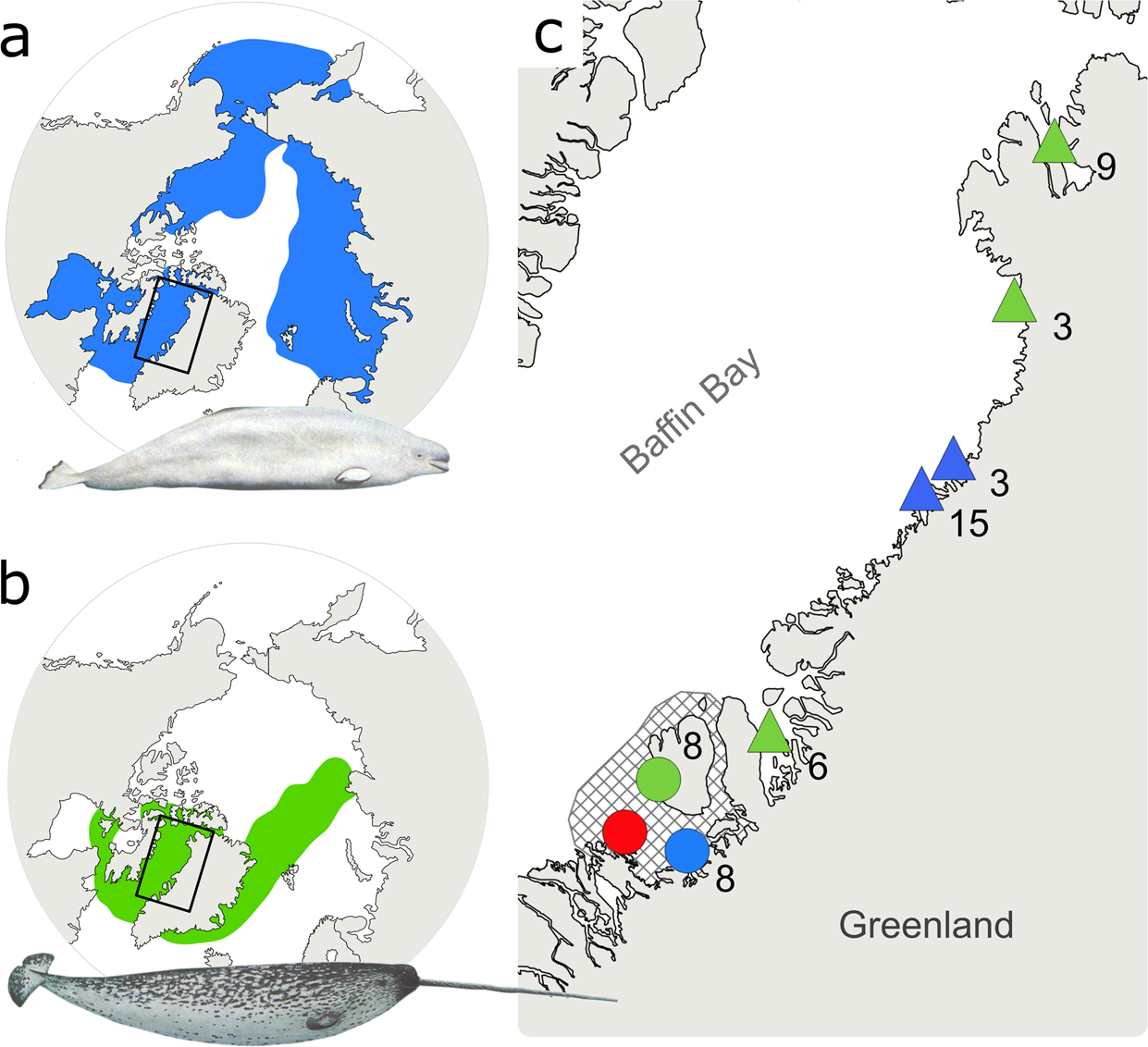 Hybridization between two high Arctic cetaceans confirmed by genomic.