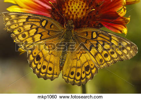Stock Photography of Variegated Fritillary [Euptoieta claudia.