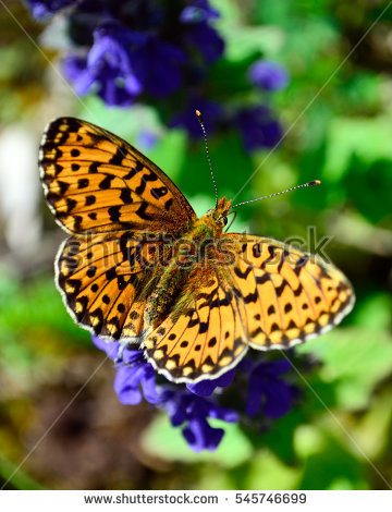 High Brown Fritillary Stock Images, Royalty.