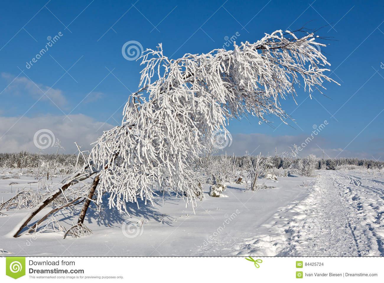 Winter Snow Branches Bush, High Fens, Belgium Stock Photo.