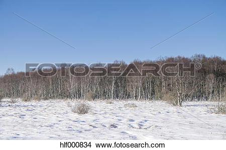 Stock Photo of Belgium, High Fens, winter landscape with birch.