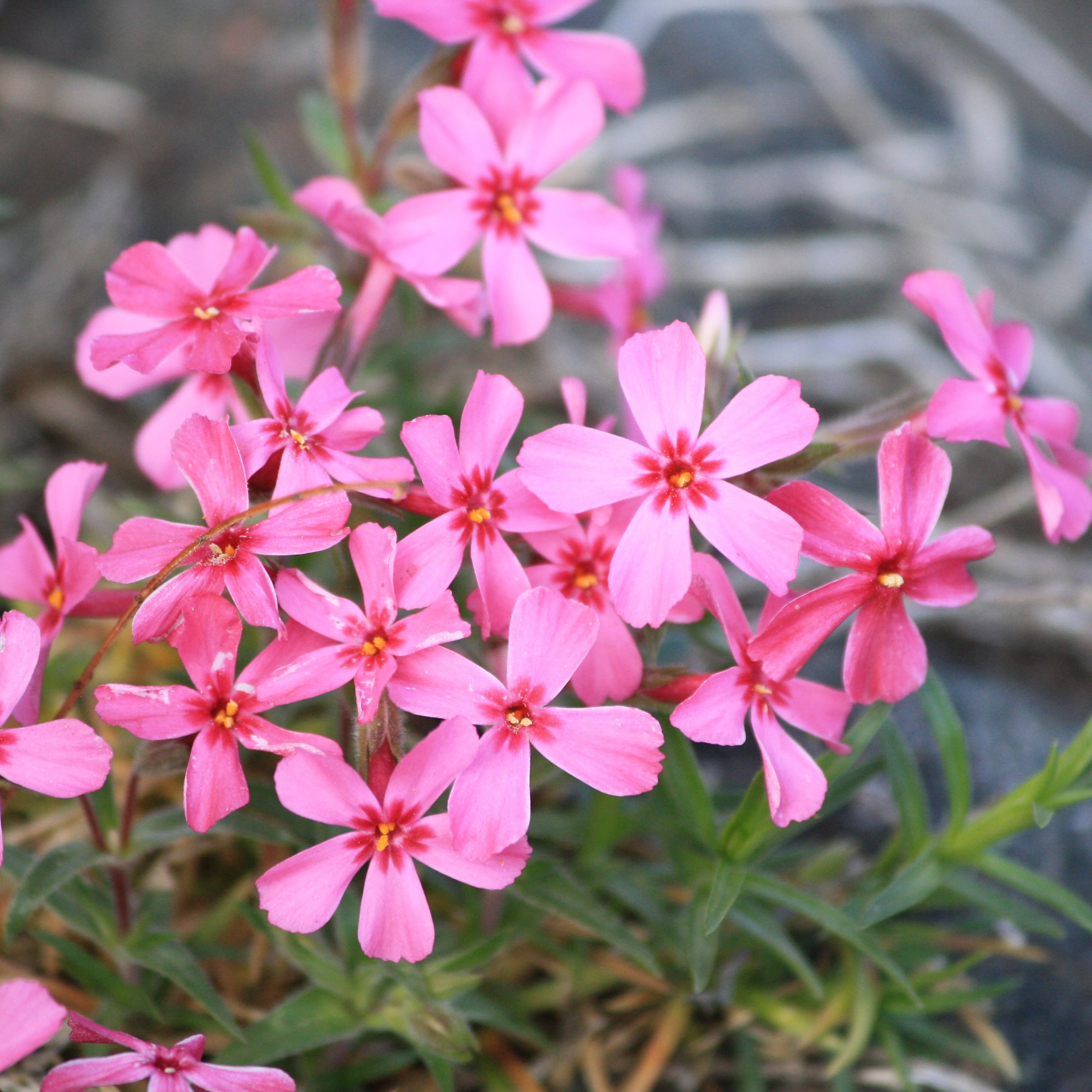 Creeping Phlox Pink Flowers Picture.