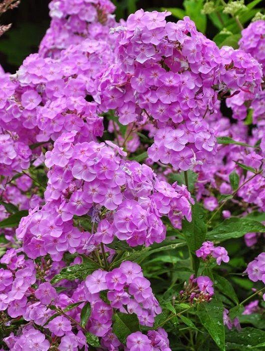 1000+ ideas about Phlox Flowers on Pinterest.