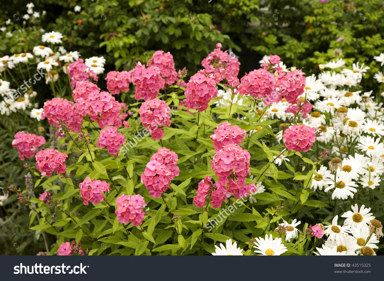 An Intense Pink Perennial Garden Phlox In The Home Garden. Stock.