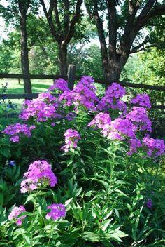 "Perennial Garden. Late Summer Garden. Phlox Paniuculata ""Laura."