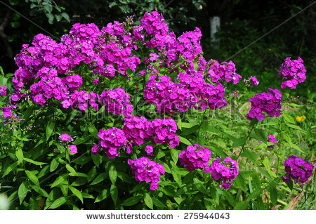 Polemoniaceae Stock Photos, Royalty.