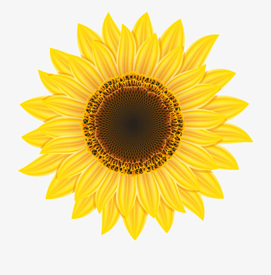 Sunflower Clipart Web Png.