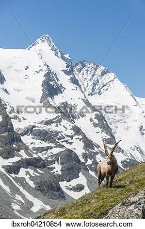 Stock Photo of Alpine ibex (Capra ibex), also steinbock or.