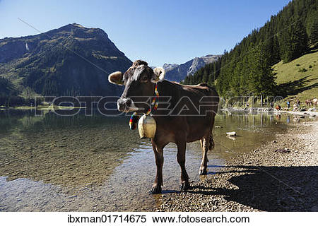 "Stock Image of ""Cow with cow bell, cattle drive on Lake Vilsalpsee."