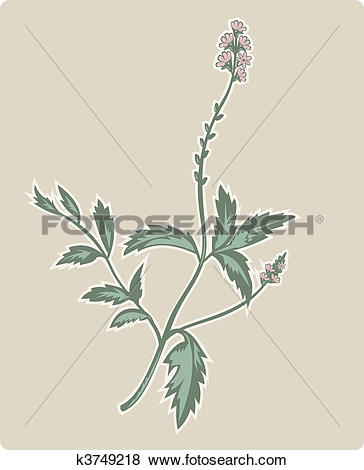 Stock Illustration of vervain or verbena flowering plant. k3749218.