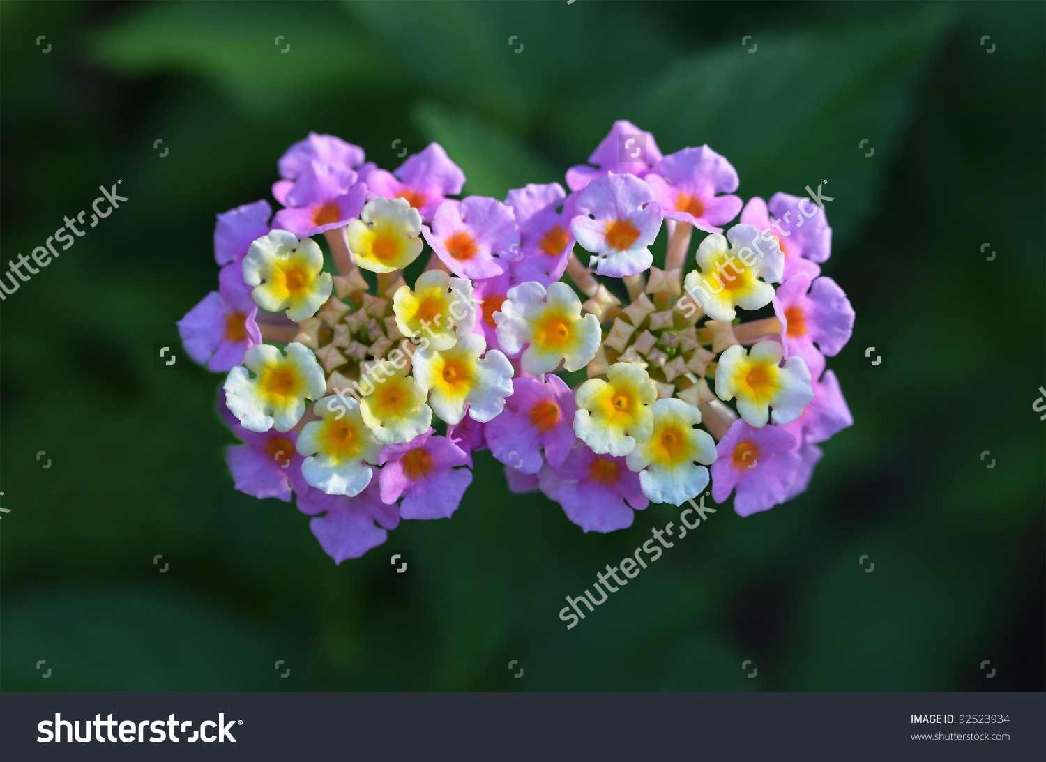 Verbena Flowers Stock Photo 92523934 : Shutterstock.