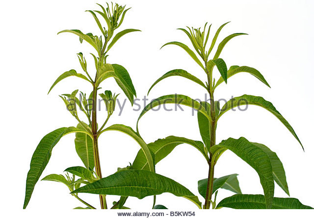 Lemon Verbena Stock Photos & Lemon Verbena Stock Images.