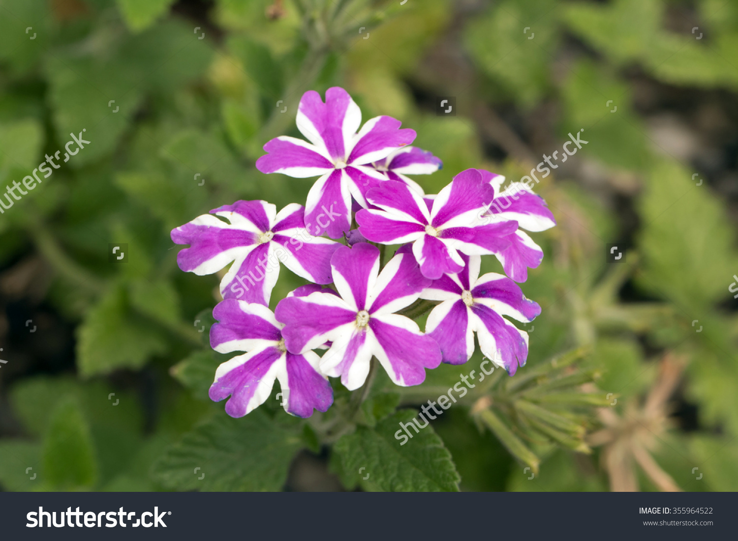 Purple And White Garden Verbena Blooming (Verbena Tenera) Stock.