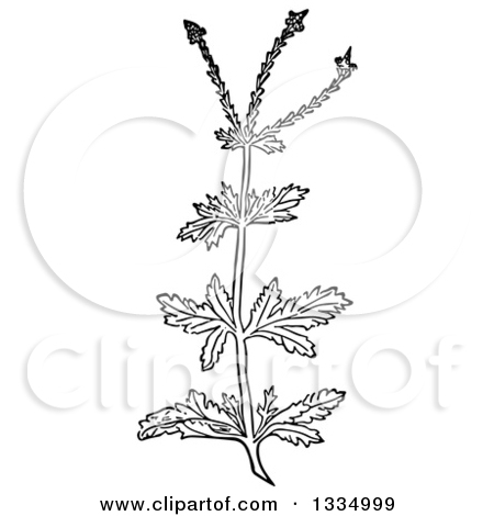 Clipart of a Black and White Woodcut Herbal Medicinal Vervain.