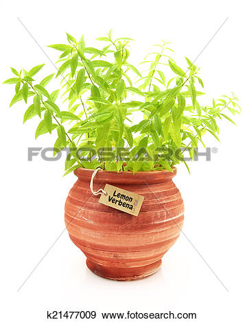 Stock Photograph of Fresh lemon verbena plant in a clay pot.