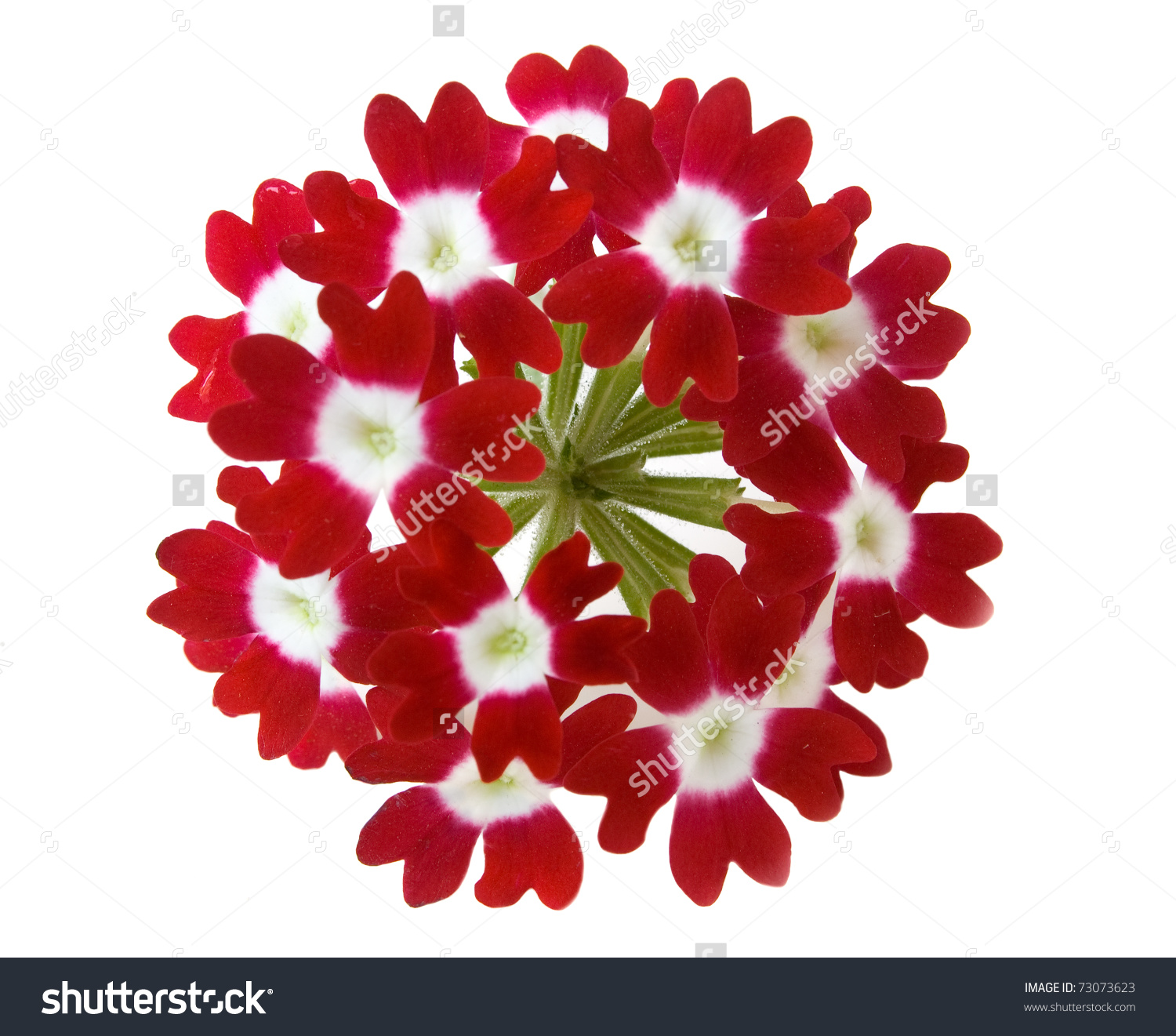Red Verbena Flower Isolated On White Background Stock Photo.