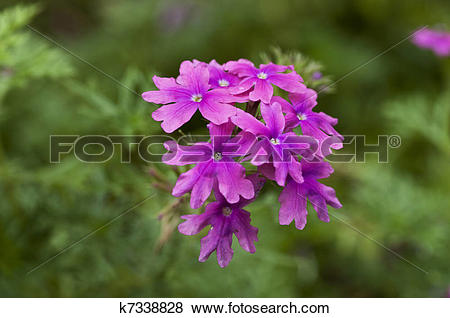 Pictures of Verbena k7338828.