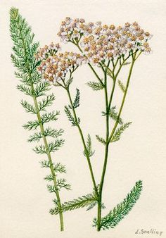 Yarrow (Achillea Millefolium) Cure for a Broken Heart.