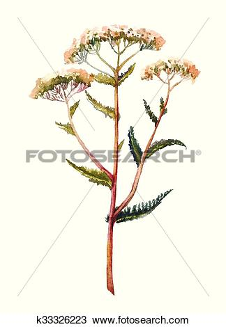 Clipart of Yarrow watercolor illustration. Hand drawn herb.