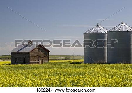 Picture of old wooden barn and metal grain bins in a field of.