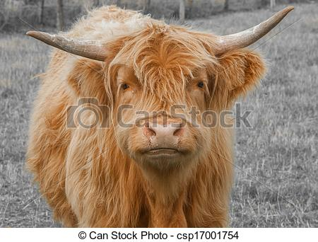 Stock Images of Highland Cattle.