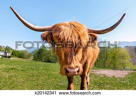 Stock Photography of Scottish Highland Cow k20142341.