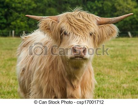 Stock Photography of Highland Cattle.