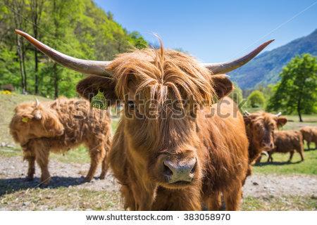 Highland Cow Stock Photos, Royalty.