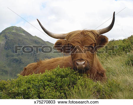 Stock Photo of longhorn highland cattle x75270803.
