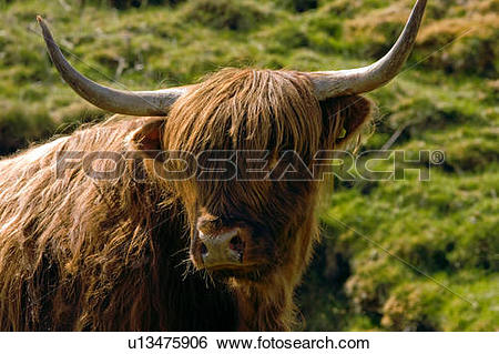 Stock Images of closeup of Highland cow face view u13475906.