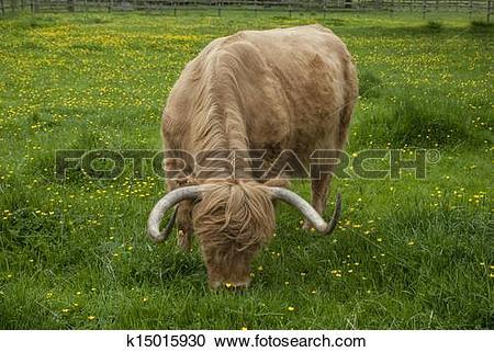 Stock Photography of Highland Longhorn k15015930.