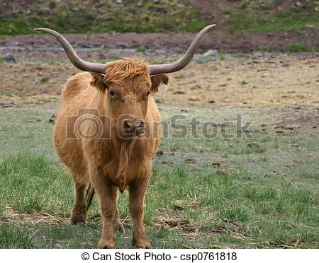 Pictures of Long Horns.