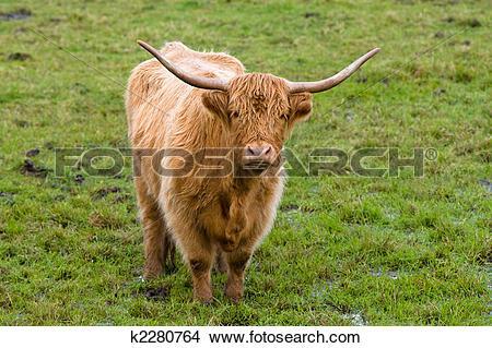 Stock Photo of Highland cow k2280764.