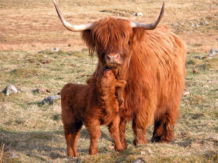 1000+ images about highland cow on Pinterest.