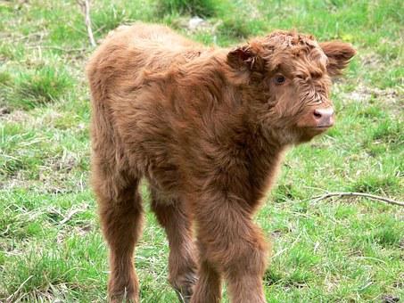 Cow, Head.