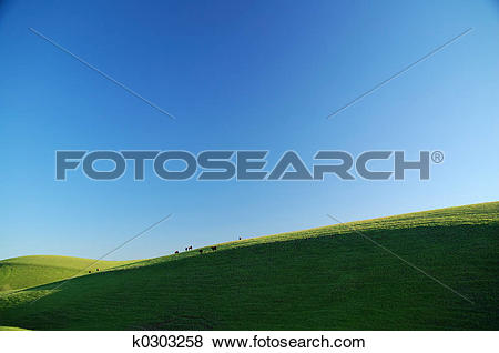 Pictures of cattle on a sunny hillside k0303258.