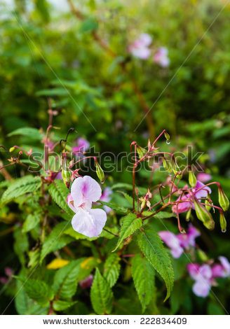 Himalayan Balsam Stock Photos, Royalty.