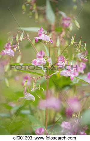Stock Photo of Germany, Himalayan Balsam, Impatiens glandulifera.