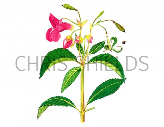 Himalayan Balsam (Impatians glandulifera) B001 Illustration.