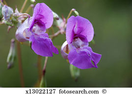 Balsam flower Images and Stock Photos. 558 balsam flower.