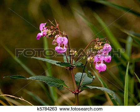 Stock Photo of Himalayan Balsam k5784263.