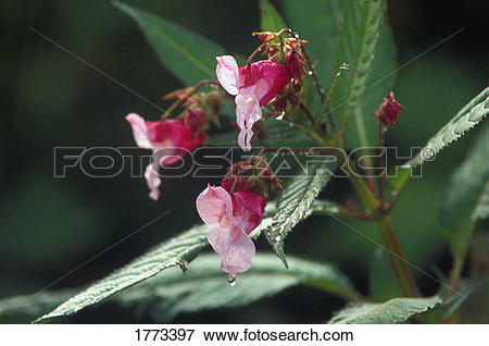 Picture of Close up of the Himalayan Balsam 1773397.