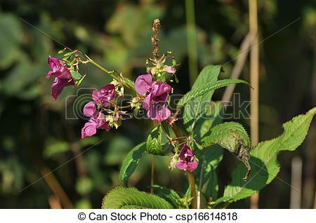 Stock Photography of Impatiens glandulifera or Himalayan Balsam.