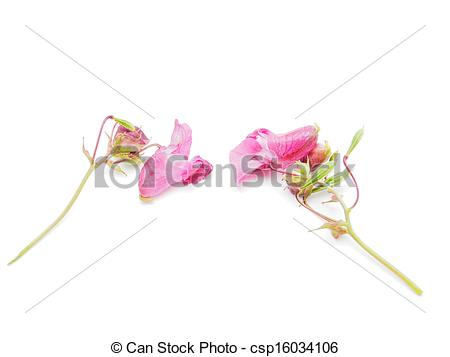 Stock Photography of Himalayan Balsam blossom csp16034106.