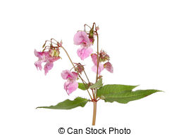 Stock Photography of Impatiens glandulifera or Himalayan Balsam.